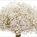 Gypsophila Snowball