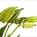 Okra Pods Green