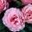 Garden Rose Mayras Rose