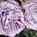 Garden Rose Princess Kaori