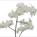 Phalaenopsis Gold Dust