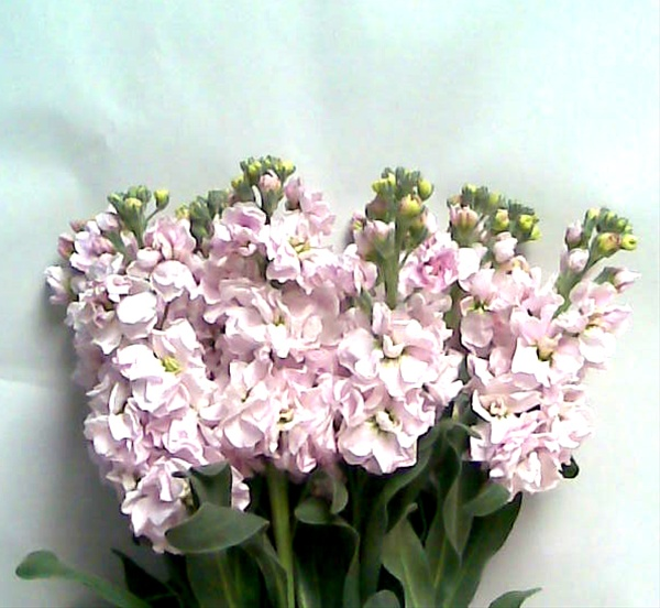 Pink double stock flowers and fillers flowers by category added by sierra mightylinksfo