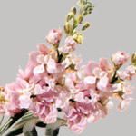Apple blossom double stock flowers and fillers flowers by grower and breeder information mightylinksfo