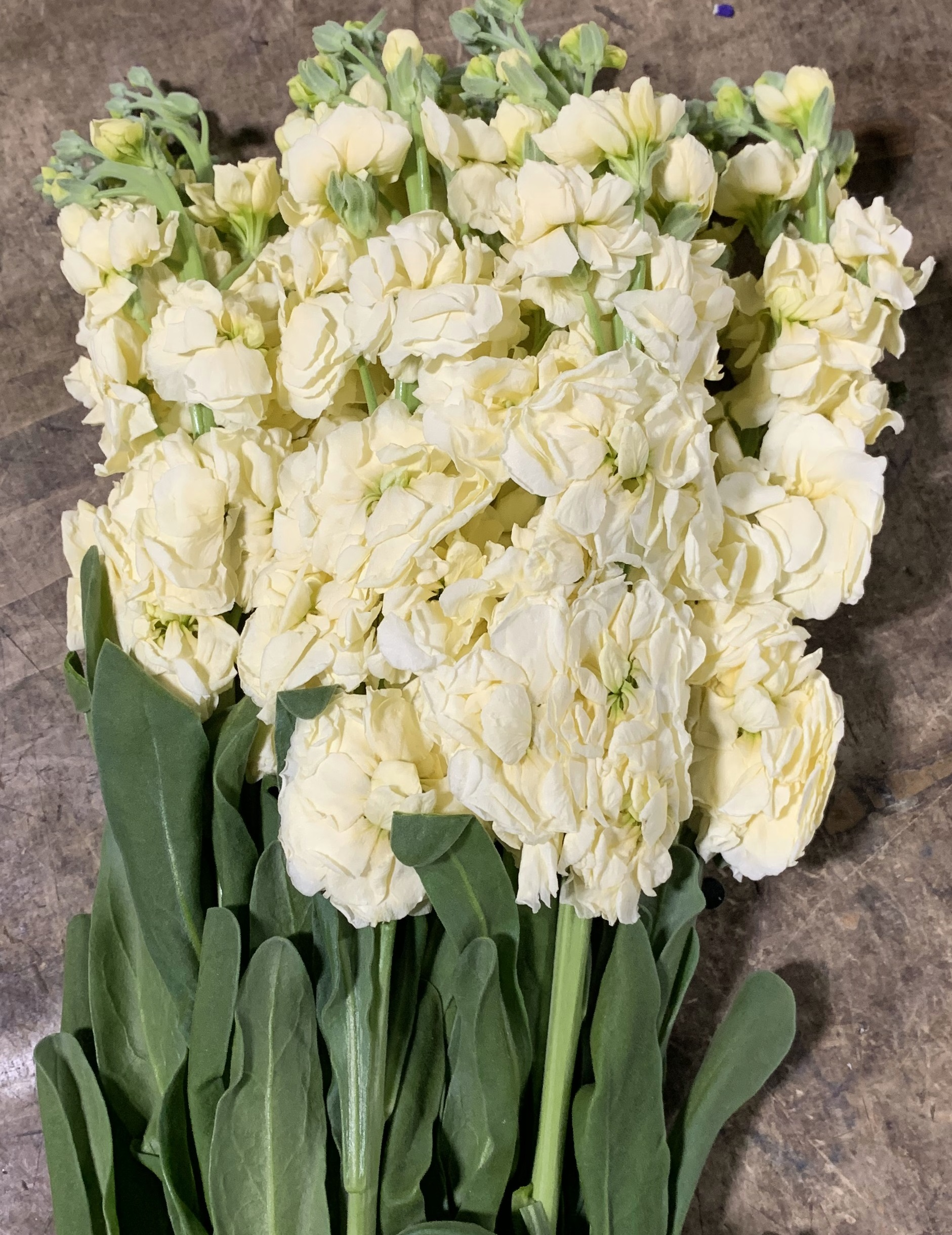 Yellow double stock flowers and fillers flowers by category added by sierra mightylinksfo