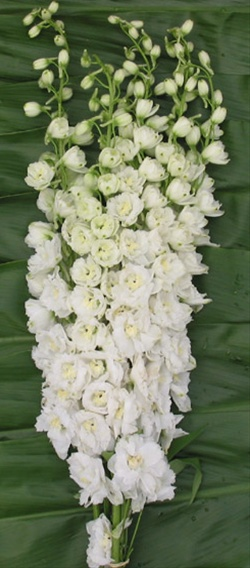 Hybrid white delphinium flowers and fillers flowers by added by sierra mightylinksfo