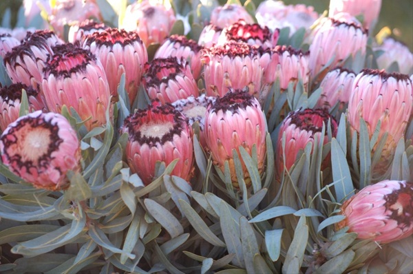 Pink mink protea proteas and leucadendrons flowers by category grower and breeder information mightylinksfo