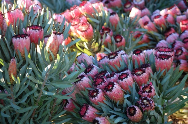 Pink mink protea proteas and leucadendrons flowers by category substitutes mightylinksfo