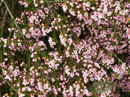Thrytptomene calycinia pink thryptomene flowers and fillers added by sierra mightylinksfo