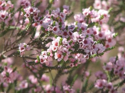 Thrytptomene calycinia pink thryptomene flowers and fillers grower and breeder information mightylinksfo