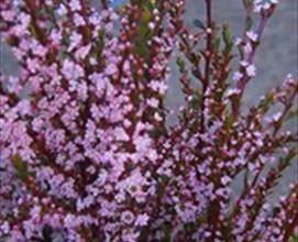 Thryptomene calycinia tinted pink thryptomene flowers and grower and breeder information mightylinksfo