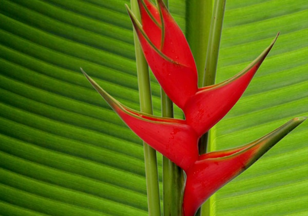 red iris  heliconia  exotic blooms and foliages  flowers by, Natural flower