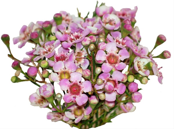 Winter pink waxflower flowers and fillers flowers by category added by sierra mightylinksfo