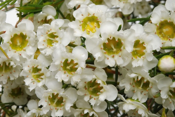 Dancing queen white waxflower flowers and fillers flowers by added by sierra mightylinksfo
