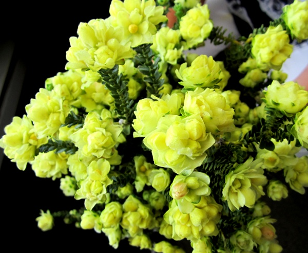 Yellow bells yellow bells flowers and fillers flowers by grower and breeder information mightylinksfo
