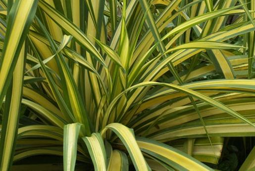 Flax yellow wave australianew zealand foliages greens foliages flax yellow wave mightylinksfo