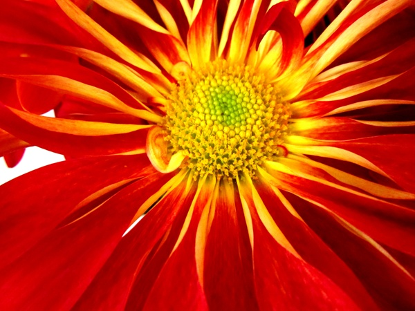 Rover mum red disbudsmums chrysanthemum flowers by category grower and breeder information mightylinksfo