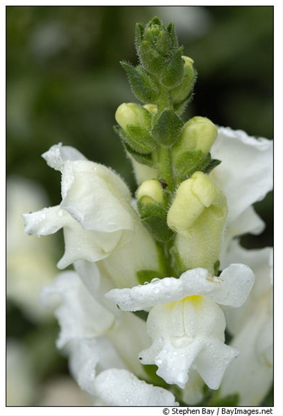 Early white snapdragon flowers and fillers flowers by category grower and breeder information snapdragons mightylinksfo