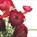 Ranunculus Red