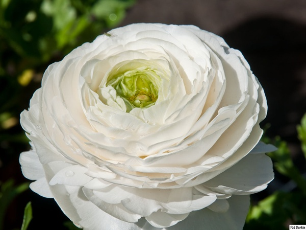 White shades ranunculus flowers and fillers flowers by substitutes mightylinksfo