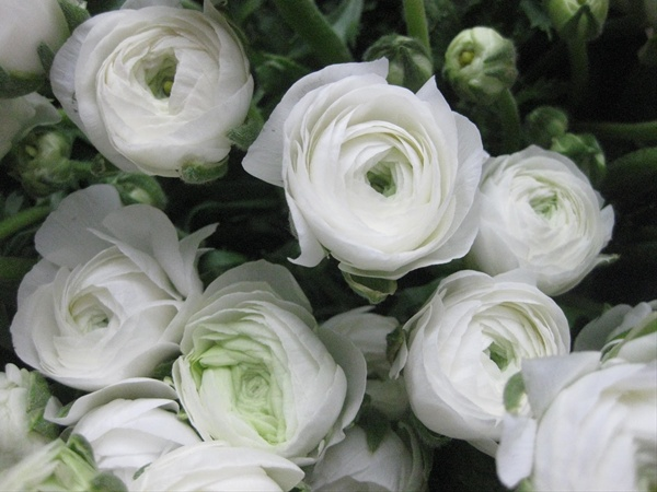 White shades ranunculus flowers and fillers flowers by grower and breeder information mightylinksfo