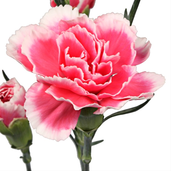 aa112be18186 Tessino Cherry - Mini Carnation - Carnations - Flowers by category ...