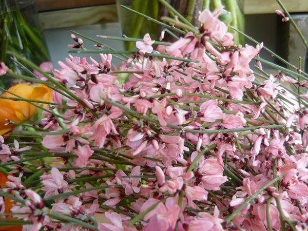 Genestra genet pink misc flowers flowers and fillers flowers added by sierra mightylinksfo