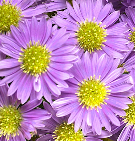 purple monarch  spray asters  asters  flowers by category, Beautiful flower