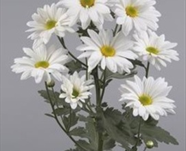 Atlantis White Spray Pompoms Chrysanthemum Flowers