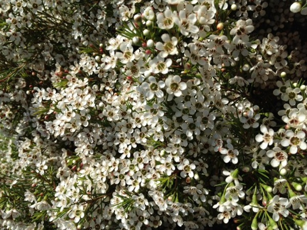 White Princess Waxflower Flowers And Fillers Flowers By