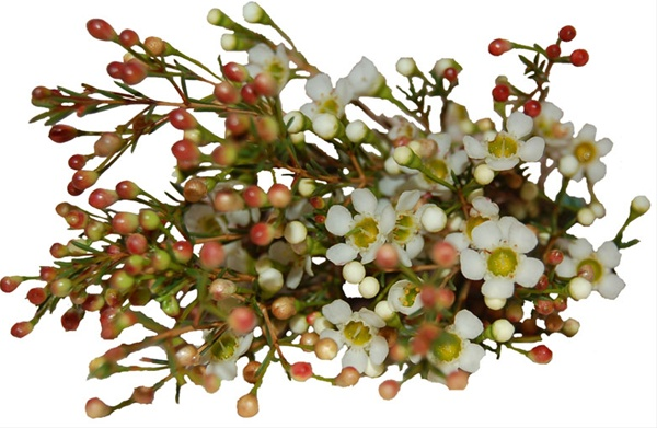 salomon crois es de vitesse pas cher - Bridal Pearl - Waxflower - Fleurs - Fleurs par cat��gorie | Sierra ...