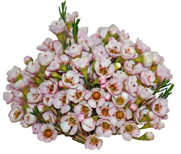Pastel Gem - Waxflower - Flowers and Fillers - Flowers by category ...