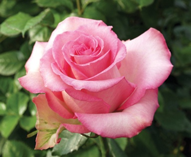 priceless standard rose roses flowers by category sierra