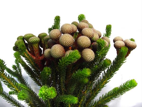 Green Brunia