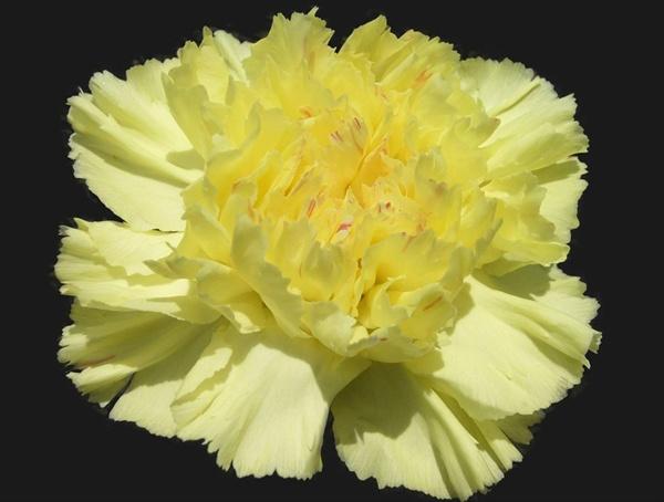 Hermes standard carnation carnations flowers by category added by sierra mightylinksfo