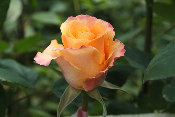 indian femma standard rose roses flowers by category