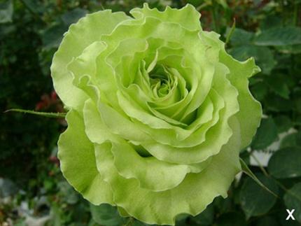 added by Sierra Green Flower Rose