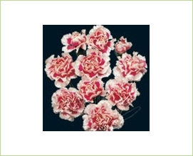 b0cc8f313acf Skyline - Mini Carnation - Carnations - Flowers by category