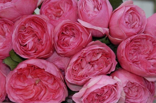 Maria Theresa Garden Rose Roses Flowers By Category
