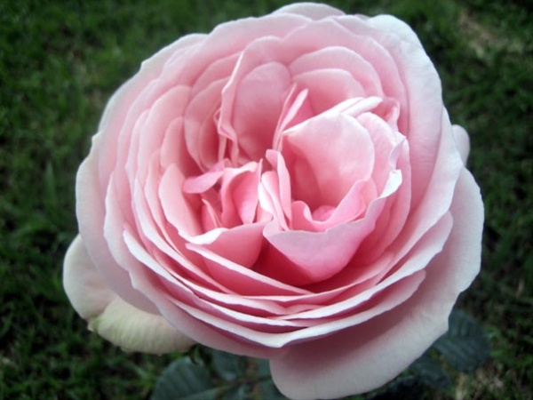 Aphrodite Garden Rose Roses Flowers By Category