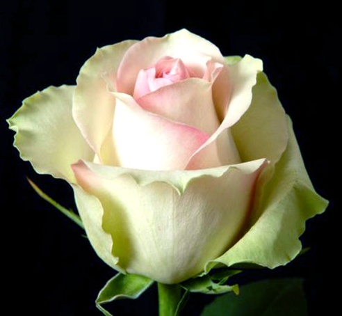 la belle standard rose roses flowers by category