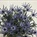 Eryngium Blue Bell