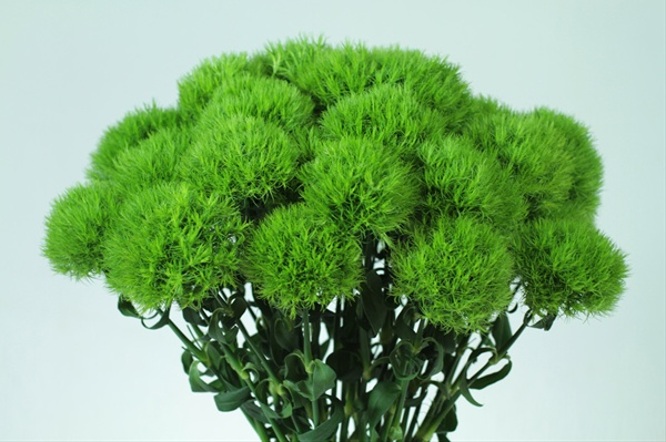 1000 images about dianthus green trick wedding flowers