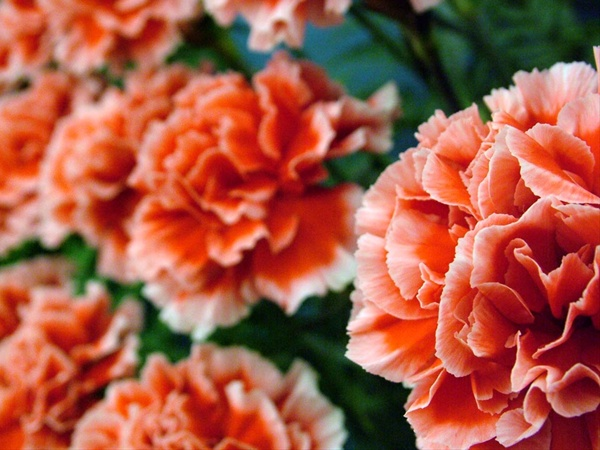 43718a62dfde Piet - Standard Carnation - Carnations - Flowers by category ...