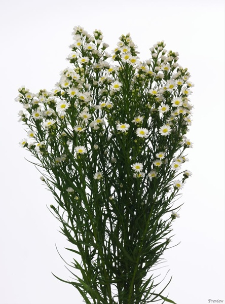 mardi gras white  spray asters  asters  flowers by category, Beautiful flower