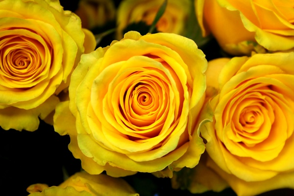 High and exotic standard rose roses flowers by category added by sierra mightylinksfo
