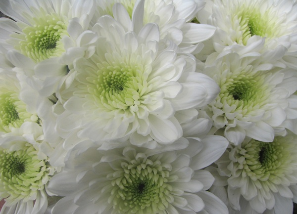Arctic queen white spray pompoms chrysanthemum flowers by added by colin mightylinksfo