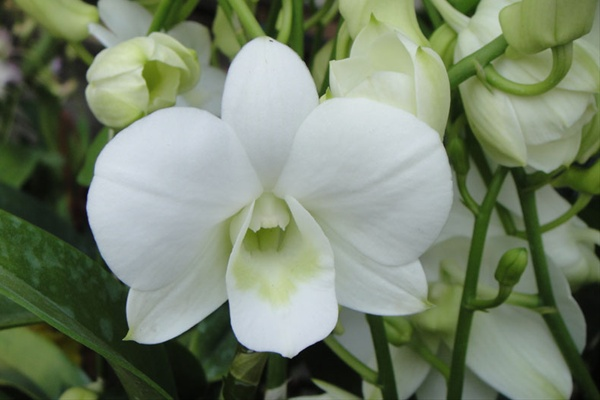 Big White - Dendrobium - Orchids - Flowers by category ...
