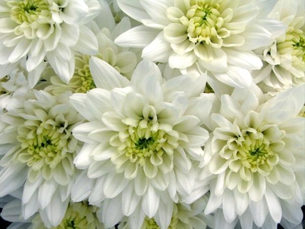 Baltica white spray pompoms chrysanthemum flowers by added by north of 45 mightylinksfo