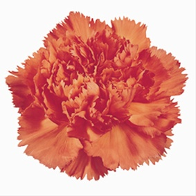 how to make carnations open