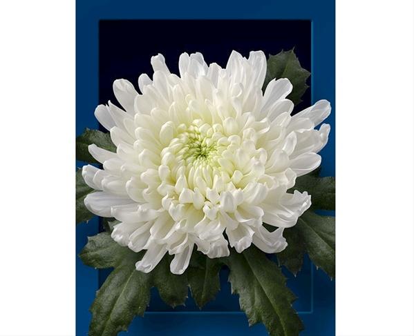 Cavallini Disbuds Mums Chrysanthemum Flowers By